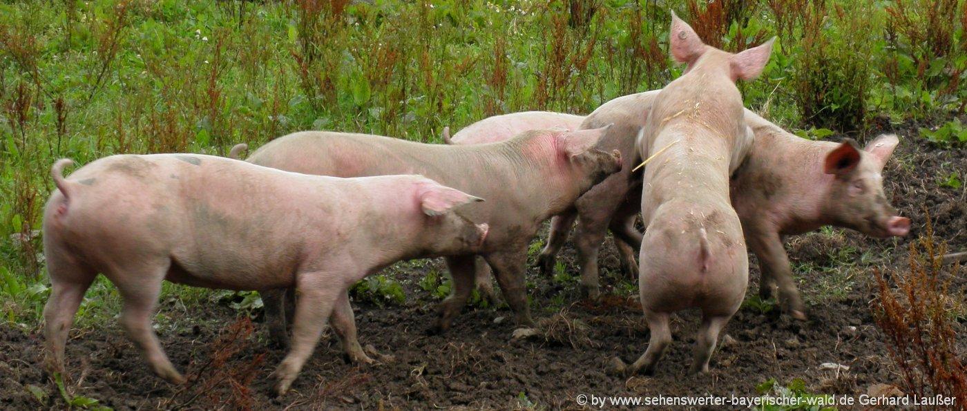 bauernhof-musik-titel-tiere-songs-schweine-